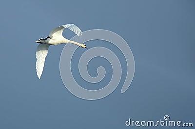 Swan soaring