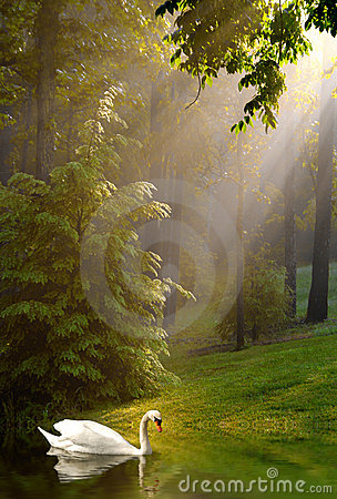 Swan and Streaming Sunshine on Foggy Morning