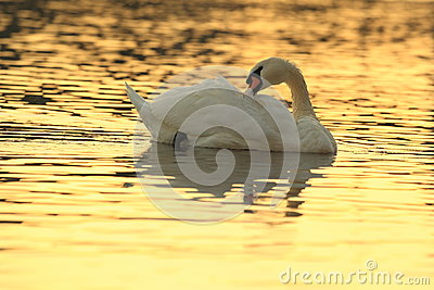 Swan in sunrise