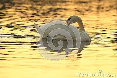 Swan in sunrise