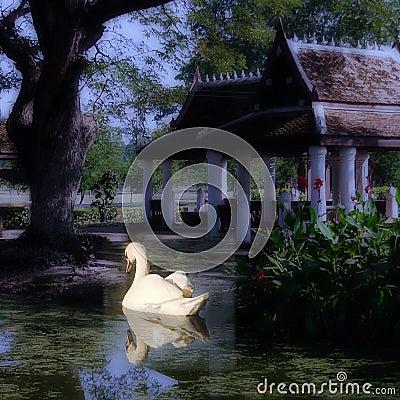 Swan swimming in peaceful lake