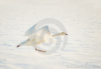 Swan taking off in snow