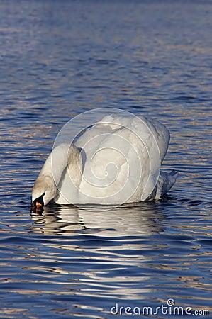 Swan - taster