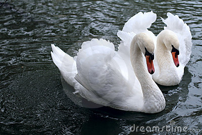 Swan tenderness