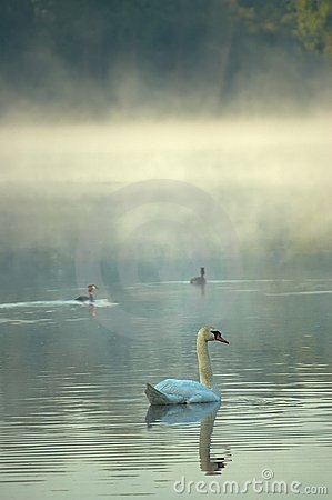 Free Swan The Morning Pond Royalty Free Stock Image - 24120476