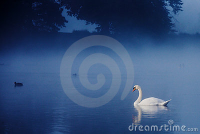 Swan on Tranquil Lake