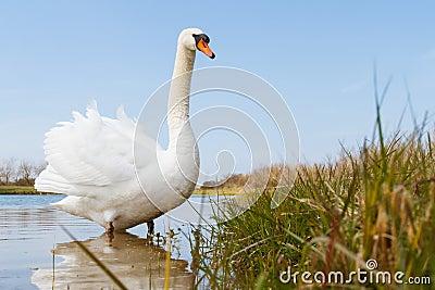 Swan Wading Near the Shore