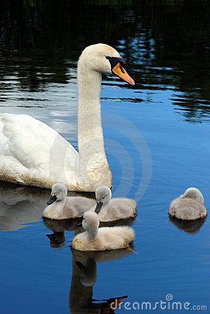 Free Swan With Baby Chicks Stock Images - 20054514