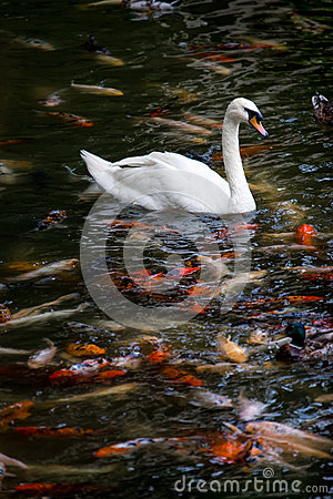 Free Swan With Koi Fish Swimming In Pond Royalty Free Stock Photos - 44380928