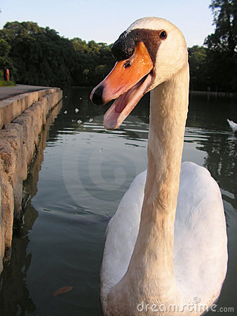 Swan in your face