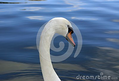 Swan1 - Droplet on Beak