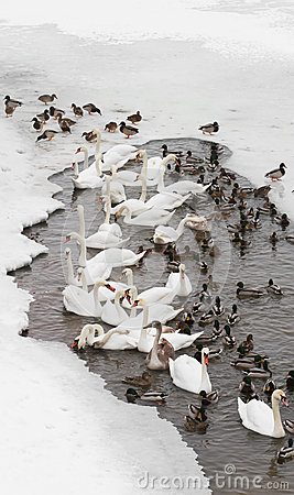 Free Swans And Ducks Royalty Free Stock Photography - 25650357