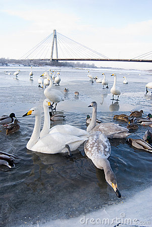 Free Swans And Ducks In Ice River Stock Image - 8724201