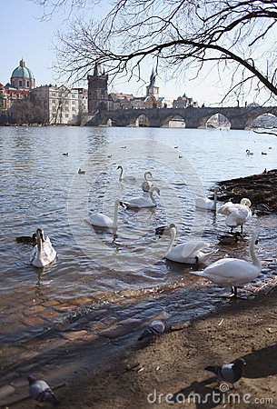 Swans on background of Charles Bridge in Prague