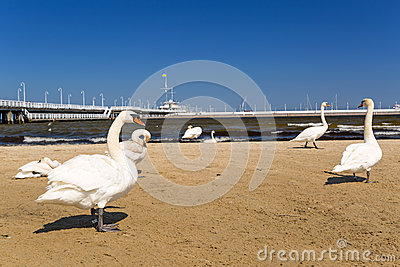 Swans on the beach in Sopot