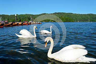 Swans at Bowness on Windermere