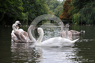 Swans and Cygnets on a River