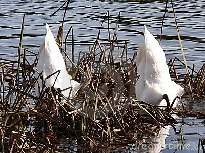 Swans Diving
