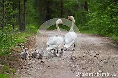 Swans family
