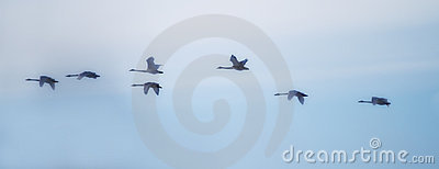 Swans flying