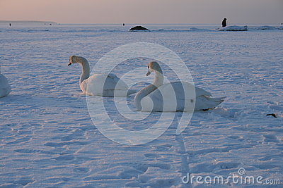 Swans on a frozen bay