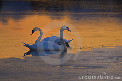 Swans on frozen lake