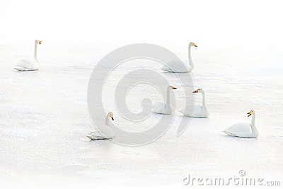 Swans on a frozen lake in winter