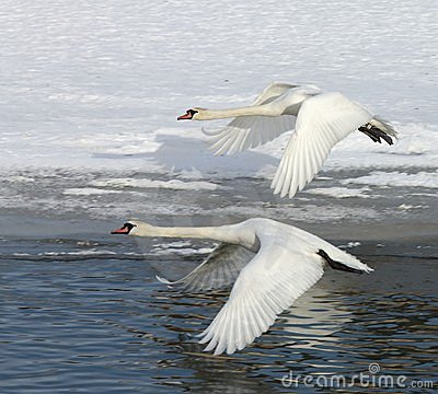 Free Swans In Flight Royalty Free Stock Photo - 7720595