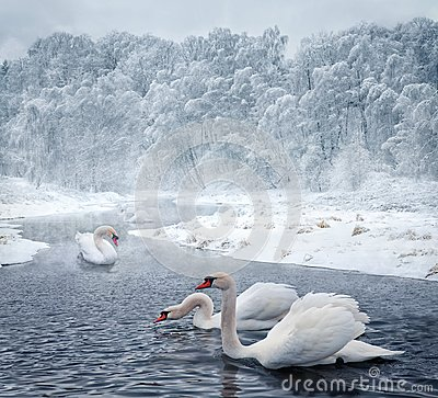 Free Swans In Winter Lake Stock Images - 37897414