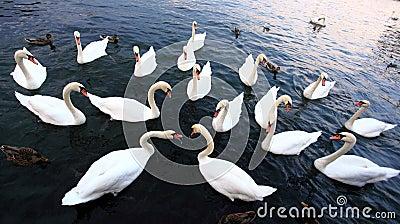 Swans on lake Geneva