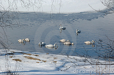 Swans at a non-frozen lake
