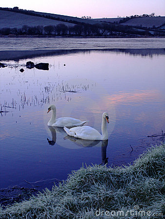 Free Swans On Frozen Lake Royalty Free Stock Photo - 2081985