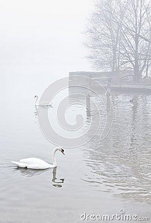 Free Swans On Misty Lake Near Pier Royalty Free Stock Photo - 24234345