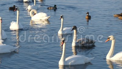 Swans on the pond stock video footage