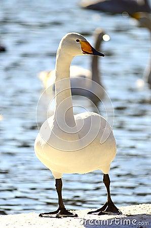 Swan posing
