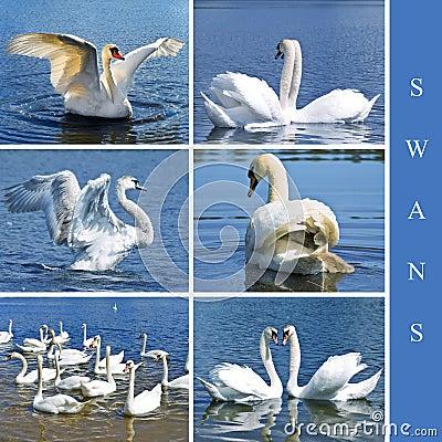 Swans set