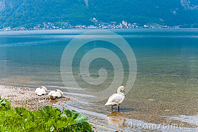 Swans on summer lake