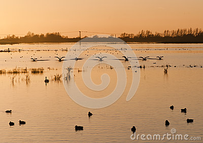 Swans  at sunset over flooded wetlands.