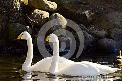 Swans swiming