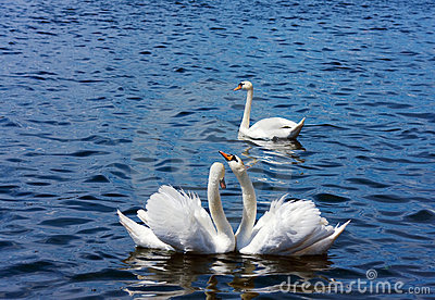 Swans in a threesome