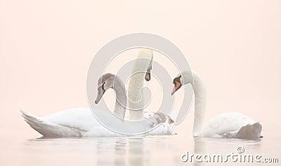 Swans on Winter misty lake