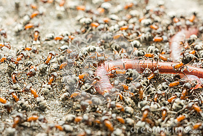 Swarm Of Ant Colony Eating Earthworm