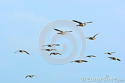 Swarm Brent gooses in the sky