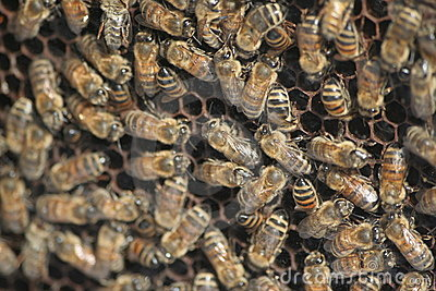 Swarming Bees Royalty Free Stock Photos - Image: 6732048