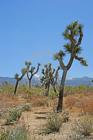 Swaying Joshua Trees
