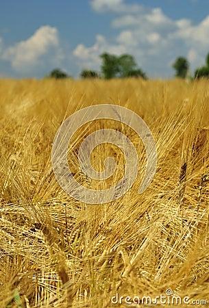 Swedish gold rye field