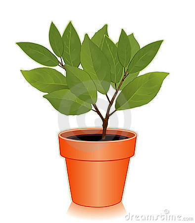 Sweet Bay Laurel Herb in a Flowerpot