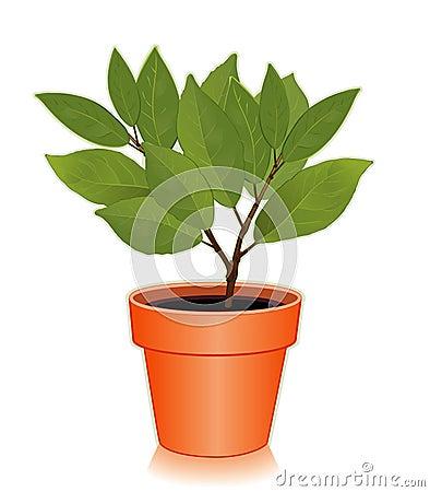 Sweet Bay Laurel Herb in a Flowerpot