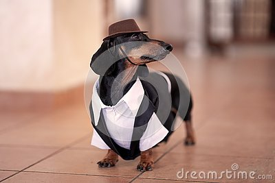 Sweet black and tan Duchshund dog wearing black tuxedo and brown hat. Clever and attentive look. Stock Photo