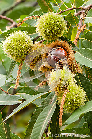 Free Sweet Chestnuts Stock Images - 53020314